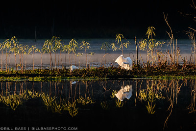 Great Egret (Ardea alba)  preening its feathers in the early morning fog in The Woodlands, Texas.