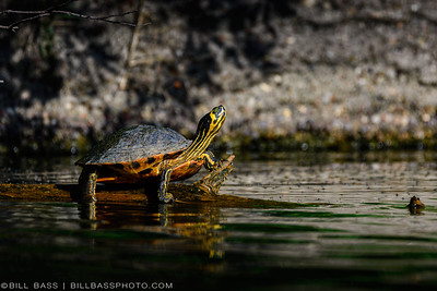The Yellow-Bellied Slider (Trachemys scripta scripta) is a land and water turtle commonly found in Texas waterways. It is found in a wide variety of habitats, including slow-moving rivers, floodplain swamps, marshes, seasonal wetlands, and permanent ponds. Yellow-Bellied Sliders are popular as pets.