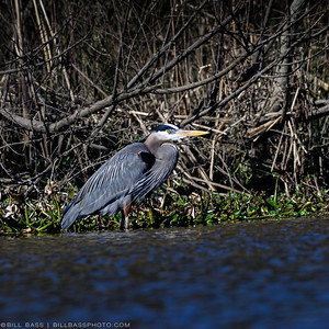 Great Blue Heron (Ardea herodias) stands in shallow wetland waters in The Woodlands, Texas.