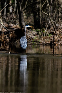 Great Blue Heron (Ardea herodias) stands in shallow wetland waters in The Woodlands, Texas. Protecting natural areas such as these are critical to the health of bird species along the U.S. Gulf Coast.