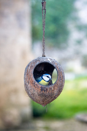 Young Blue-Tit in Coconut Shell