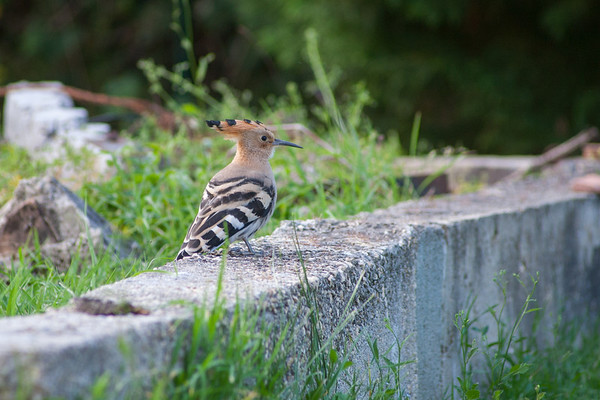 Madagascar Hoopoe. SW France.