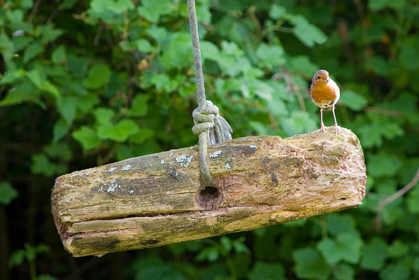 Robin on a log swing.