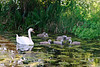 Swan and cygnets on water at Foxton Locks, Leicestershire.