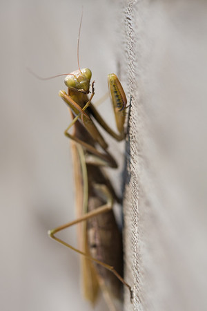 Praying Mantis  Portrait against a Wooden Background.