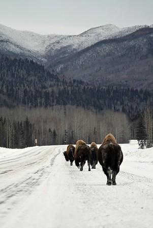 Alaska or Buff