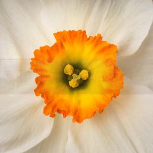 Narcissus 01