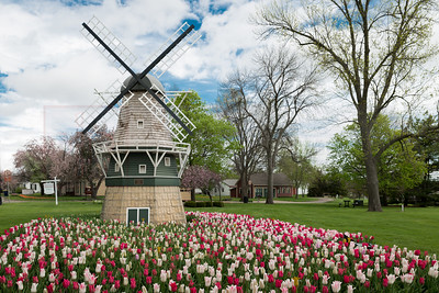 Tulips in Pella 01