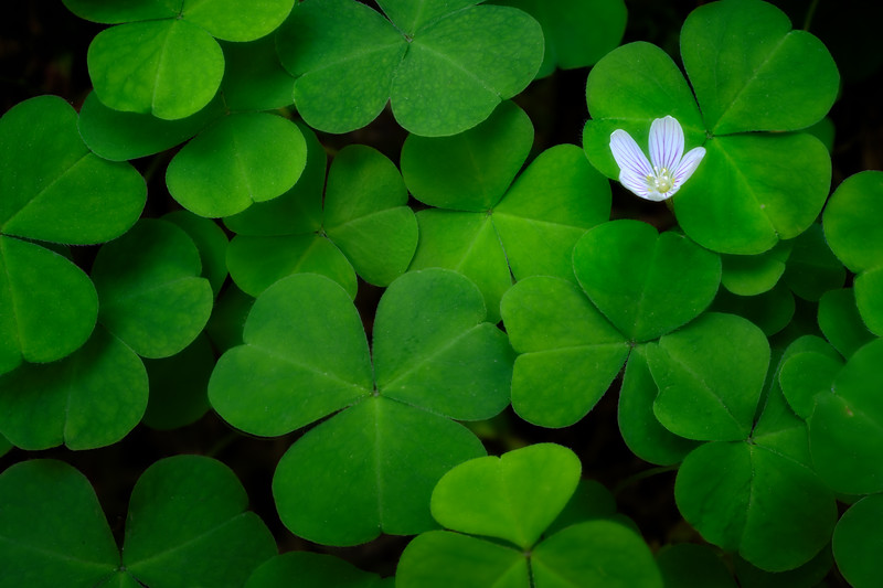 Lone Oxalis Flower of the Hoh