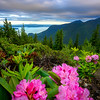 Pacific Rhododendrons of the Olympic Forest