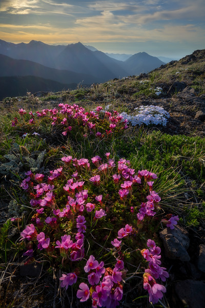 Olympic Mountains Backlit Early Bloomers
