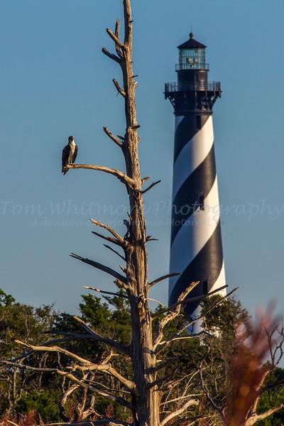 Osprey at Cape Hatteras Lighthouse.