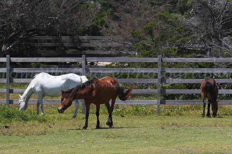 Ocracoke horses