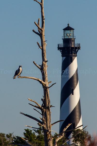 Osprey near Cape Hatteras Lighthouse
