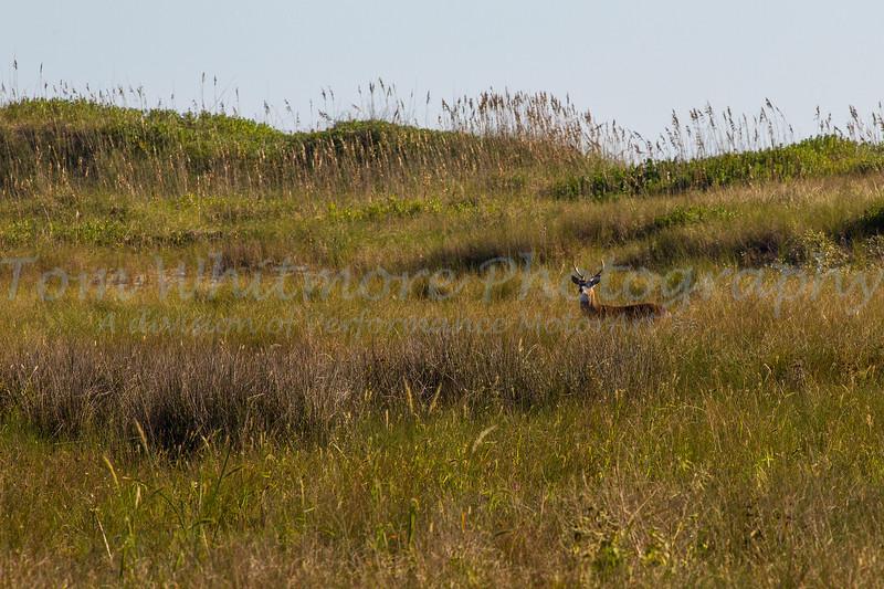 Whitetail Deer near Cape Hatteras Lighthouse.