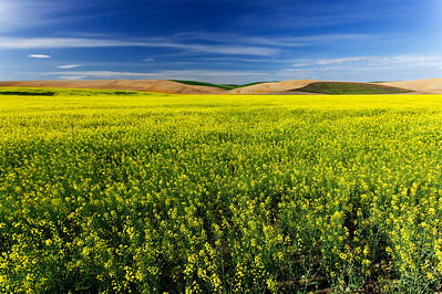 Canola fields, Eastern Washington