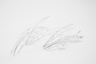 Grasses of Winter