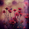 Blood daisies II