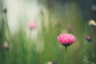 Retro Pink Everlasting Daisy
