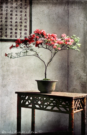 Bonsai Azalea, China, 1980