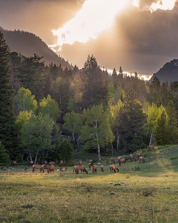RMNP Cows