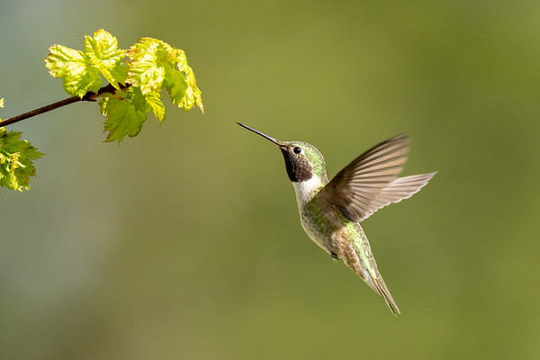 Broad Tailed Hummer