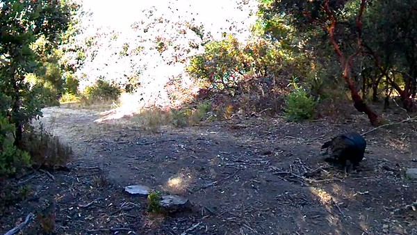 Vulture finds a dead rat... in the next video a coyote takes what's left.