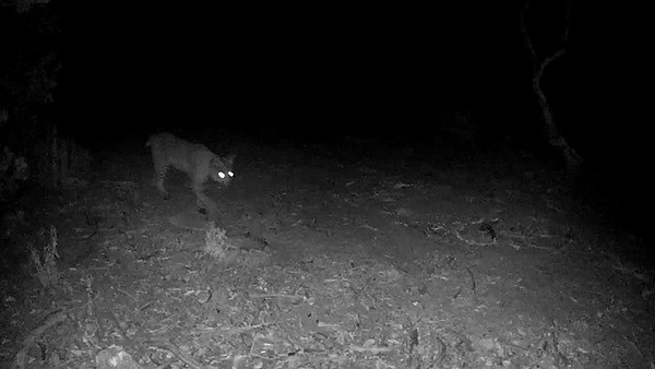 For scale: a bobcat in the same location as the lion in the previous video