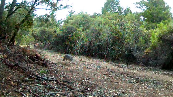 A fox hunting...