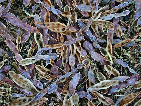 Acacia dealbata seed pods