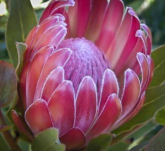 Protea 'Pink Ice'