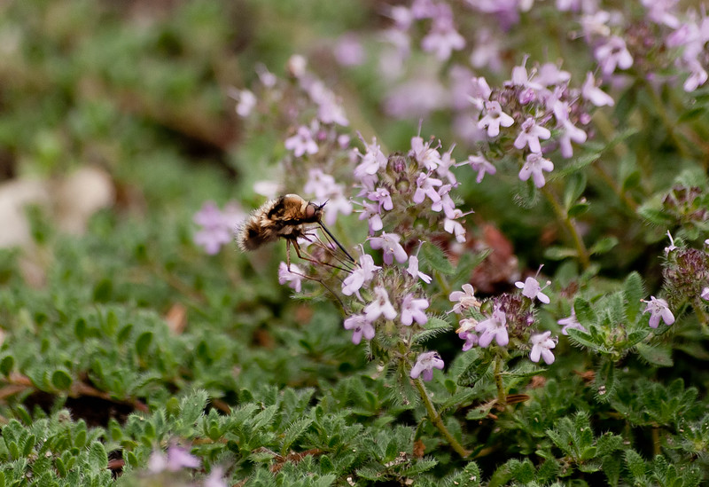 Bee fly visiting wooly thyme