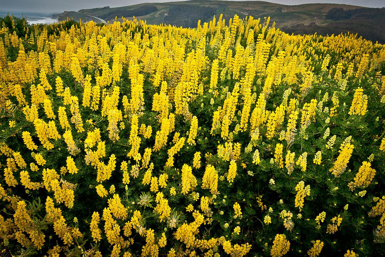 Springtime lupines, near Pesadero, California