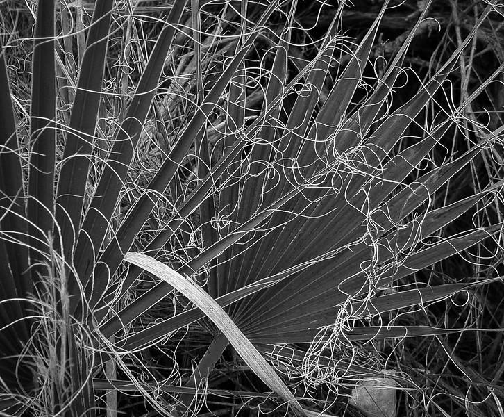 Palm fronds, Joshua Tree NP
