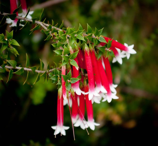 Darwinia homoranthoides