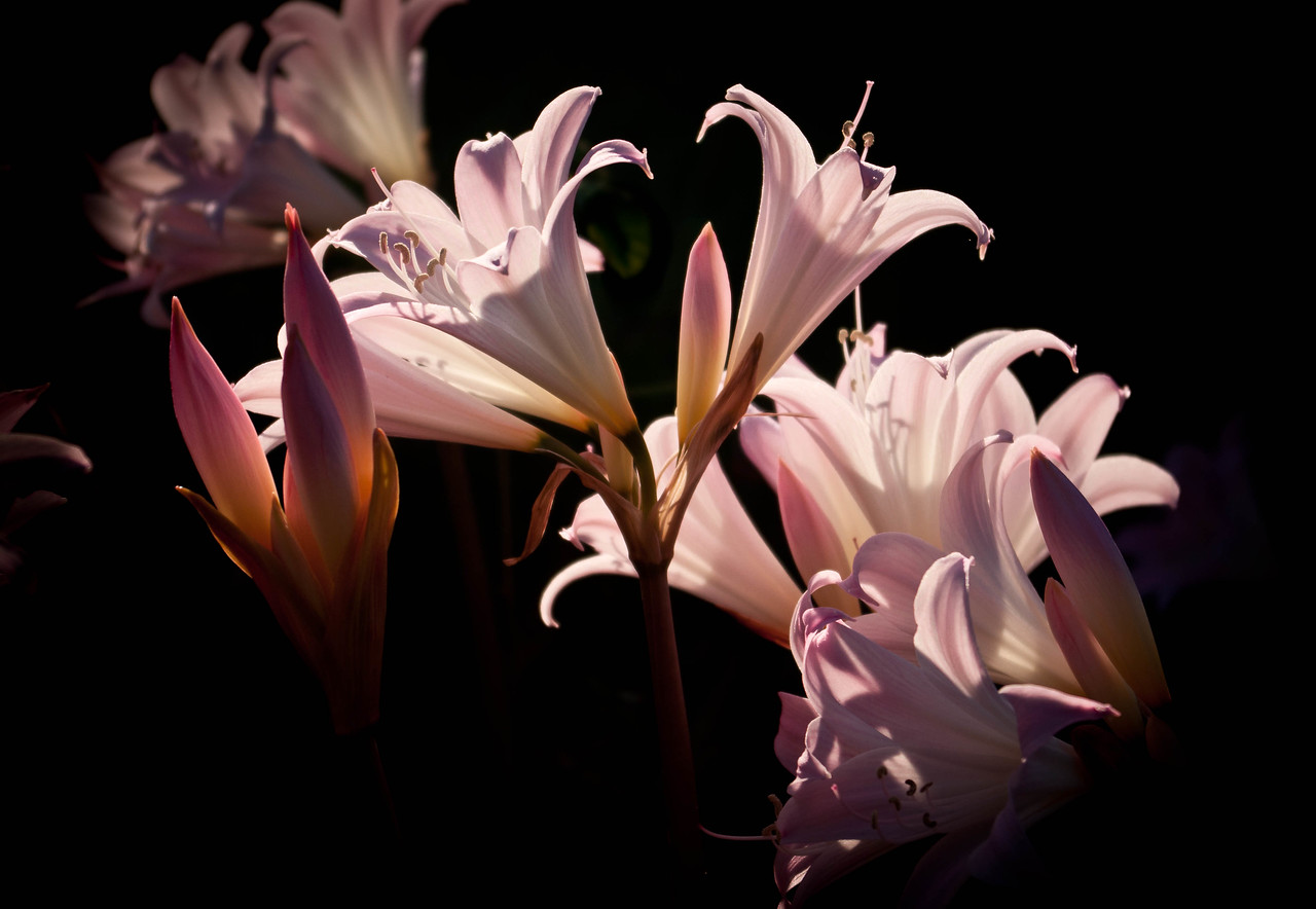 Naked Ladies in the afternoon sun (Amaryllis, I think.)