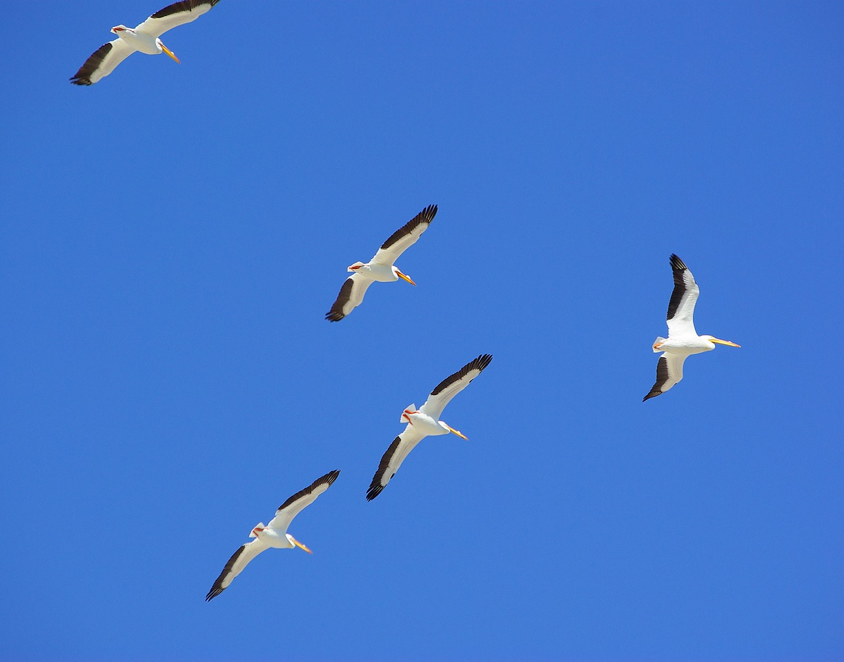 White pelicans, Salton Sea