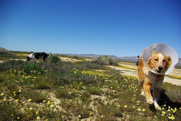 Wildflower ramble, Soda Lake, Caifornia Valley