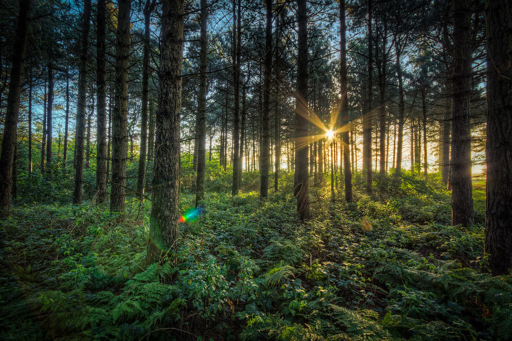 Amrum Sunrise In The Woods