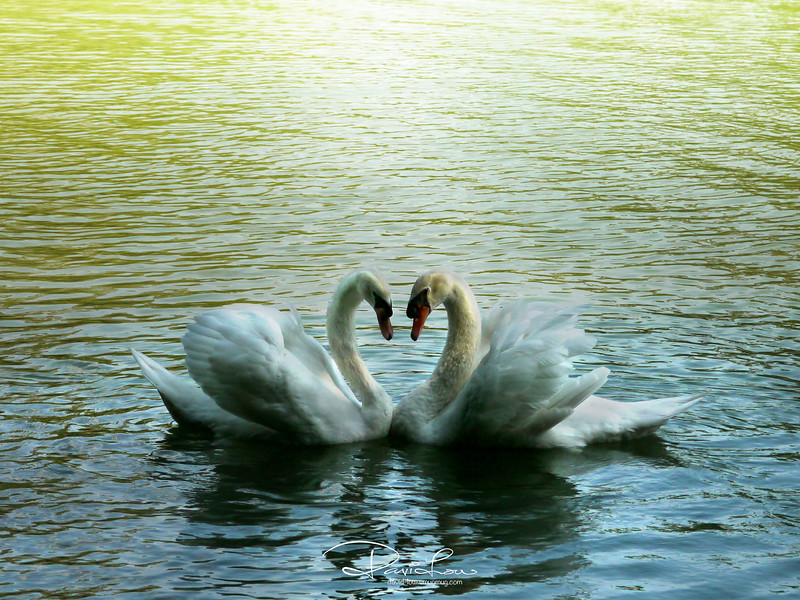 9.42 am - Swans form monogamous pair bonds that last for many years, and in some cases these can last for life.