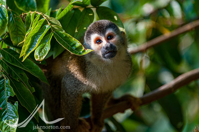 A Central American squirrel monkey (Saimiri oerstedii) in Costa Rica.