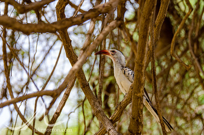 A male Von der Decken's hornbill in the thorn scrub of Samburu National Reserve, Kenya.
