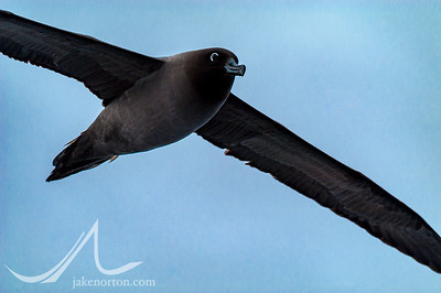 A sooty albatross (Phoebetria fusca) soars above the southern Atlantic Ocean near the Falkland Islands. Unlike many other albatross species, the sooty albatross - listed as endangered bu IUCN - is most threatened not by longline fishing but rather by domestic cats eating eggs and chicks in its traditional nesting habitats.
