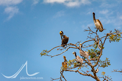 Pelicans roosting in a tree in Costa Rica.