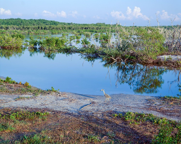 Sanibel Island, Night Heron