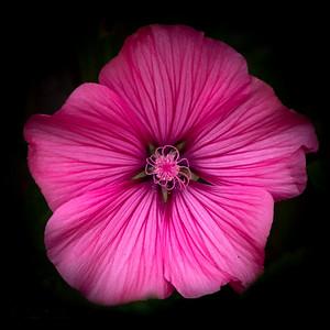Pink Intensity