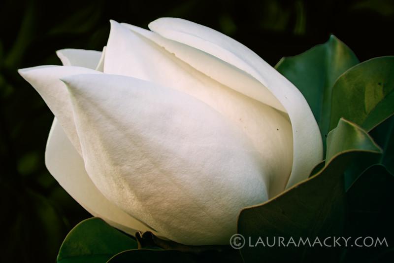 Magnolia Glow