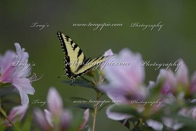 Papilio glaucusThe Eastern Tiger Swallowtail