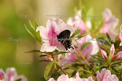 The (Eastern) Black Swallowtail (Papilio polyxenes)