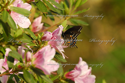 The (Eastern) Black Swallowtail (Papilio polyxenes)   Butterflies on pink Azaleas